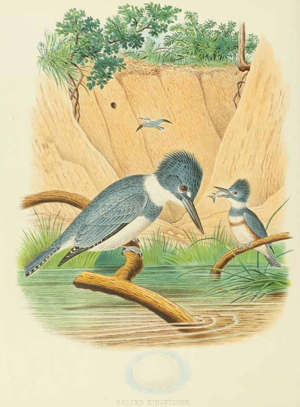 color illustration of kingfishers, two perched, one holding a fish, and a third in flight in the background; landscape includes a stream and steep sandy banks.